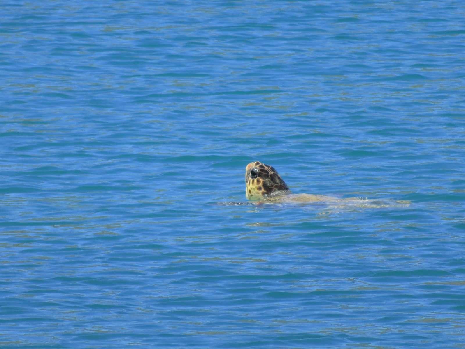 Caretta - Turtle in Elounda